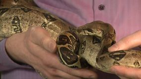 Large Boa Constrictor Moving In Male Hands, Close Up Shoot, black background, studio shot. Large Constrictor Snake Moving In Male Hands, black background, studio stock video footage