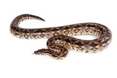 Large Boa Snake - Isolated on white Royalty Free Stock Photos