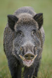 Large boar Stock Images