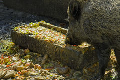 Large boar at feeding trough Stock Photography