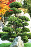 Large bonsai. Tree with rock and waterfall in a japanese garden Royalty Free Stock Image