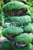 Large Bonsai Tree Stock Photo
