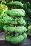 Large Bonsai Tree Royalty Free Stock Image