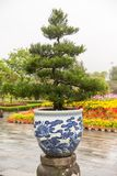 Large Bonsai tree in Hue Vietnam Stock Photos