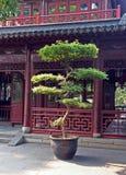 Large bonsai tree in Yuyuan gardens, Shanghai, China Royalty Free Stock Photo