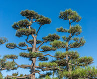 Large Bonsai Trees Stock Image