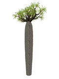 Large bottle tree, pachypodium geayi - 3D render Royalty Free Stock Photo