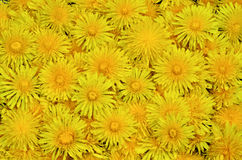 Large bouquet in the form of a carpet of dandelions Royalty Free Stock Photo