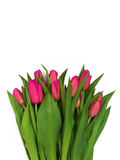 Large bouquet of fresh pink, purple, crimson, lilac tulips, isol Royalty Free Stock Photo