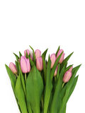 Large bouquet of fresh pink, purple, crimson, lilac tulips, isol Royalty Free Stock Image