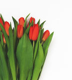 Large bouquet of fresh red tulips, isolated on white background. In vintage style Royalty Free Stock Photo