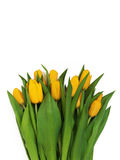 Large bouquet of fresh yellow tulips, isolated on white backgrou. Nd Royalty Free Stock Images
