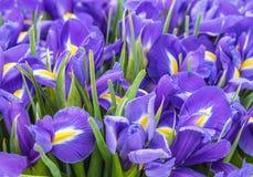 A large bouquet of irises. The big beautiful bouquet irises, background stock photography