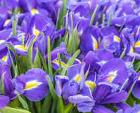 A large bouquet of irises Stock Image