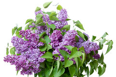 Large bouquet of lilacs Royalty Free Stock Photo