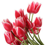 Large bouquet of tulips Stock Images