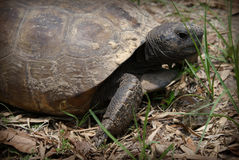 Large Box Turtle Stock Photo
