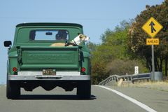 Large Boxer dog rides back in the old green pickup truck Chevrolet Royalty Free Stock Photo