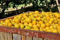 Large boxes filled with lemons Stock Image