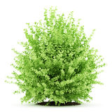 Large boxwood plant isolated on white. Background Stock Photo
