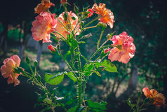 Large branch of pink roses Stock Photos