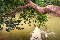 Large branch of tree leans out over water Royalty Free Stock Image