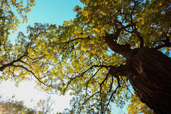 Large branched oak tree with yellow leaves Royalty Free Stock Photo
