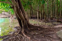 Large branched roots of a tropical tree near the lake. In the jungle Stock Image