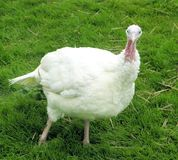 Large breasted white turkey Royalty Free Stock Image