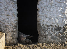 Large-bred pig sleeping in the zoo. Donkey Farm. Crimea Stock Photos