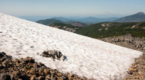 Large Breed Dog Laying Snowfield High Mountain Oregon Cascade Trail Stock Photography