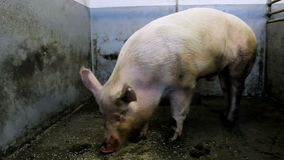Large breeding hog in the pen stock video footage