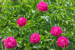 Large bright crimson peony Royalty Free Stock Image