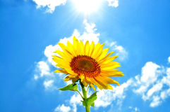 Large, bright flower sunflower Stock Images