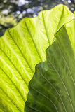 Large Bright Green Leaf Royalty Free Stock Photos