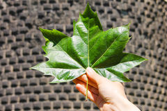 A large bright green maple leaf in hand of a man against a backdrop of masonry. Royalty Free Stock Photos