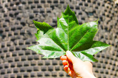 A large bright green maple leaf in hand of a man against a backdrop of masonry. Stock Image