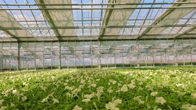 Large bright greenhouse with petunia. Yellow blooming petunia. Growing flowers on an industrial scale. Petunia in the