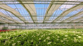 Large bright greenhouse with petunia. Yellow blooming petunia. Growing flowers on an industrial scale. Petunia in the stock footage