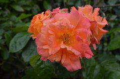 Large Bright Pink & Orange Winter-land Blossoming Rose Flower. From a local woodland area in South wales stock image