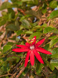 Large bright red bloom of a Crimson Passion Vine Stock Photo