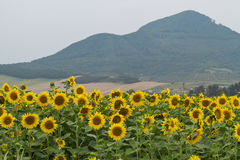 Large and bright sunflowers on the field. Large yellow petals of flowers Stock Photography