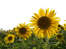 Large bright yellows sunflowers in a field Stock Images