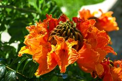 Large brilliant orange-red to scarlet flower with striking golden edges, the Exotic African Tuliptree. Also known as Flame Tree, grown in Africa, Mexico, and stock photos