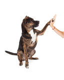 Large Brindle Dog High Five Royalty Free Stock Photo