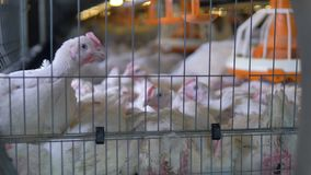Large broiler chickens sit in a cramped cage. Large white broilers sit on each other inside a cage equipped with a feeder stock video footage