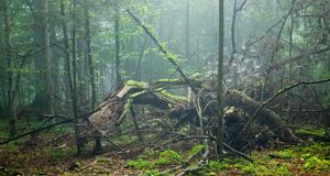 Large broken tree lying in misty forest Stock Images