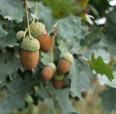 Large brown acorns. Square photo of large brown acorns Royalty Free Stock Photo