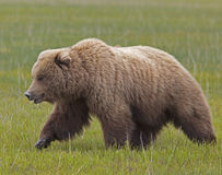 Large brown bear boar Royalty Free Stock Photo