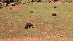 Large Brown Bear stock video footage